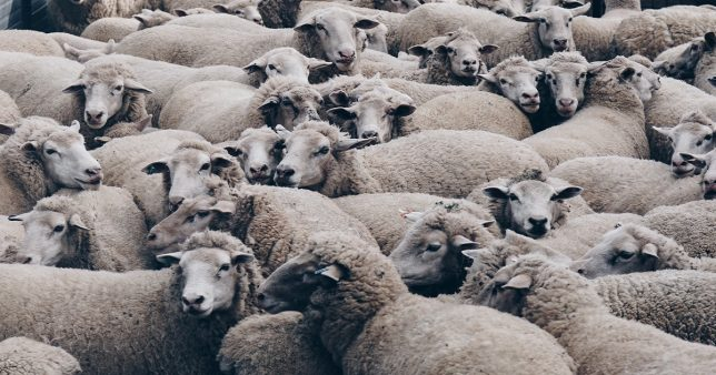 Herding in sheep representative of herding in AMCs to launch index funds
